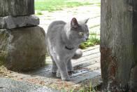 norská kočka